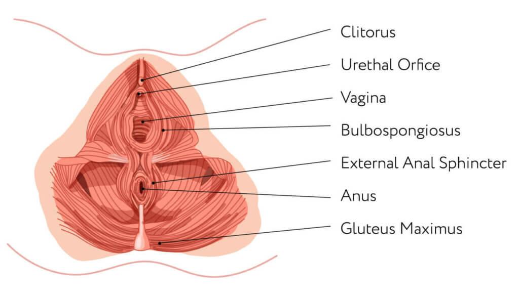 Anatomie Vorderansicht